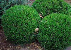 Boxwood_Wintergreen