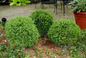 green-velvet-boxwood